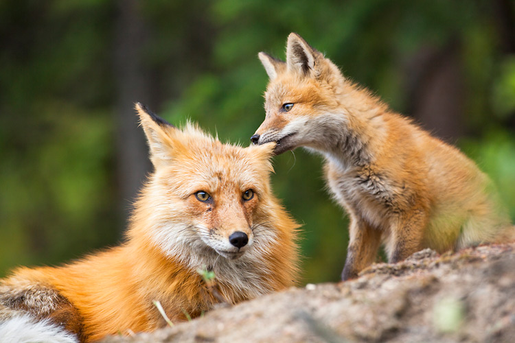 The Charm Of Foxes With Exhibits Meghan Masterson